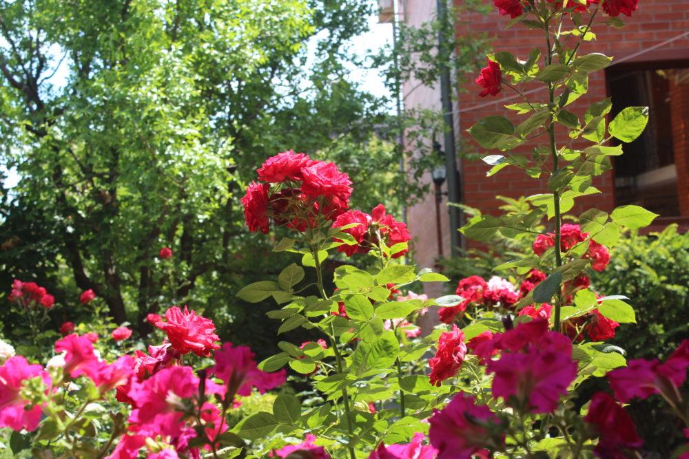 """розы на фоне отеля """"Вилла блюз"""" в Крыму"""