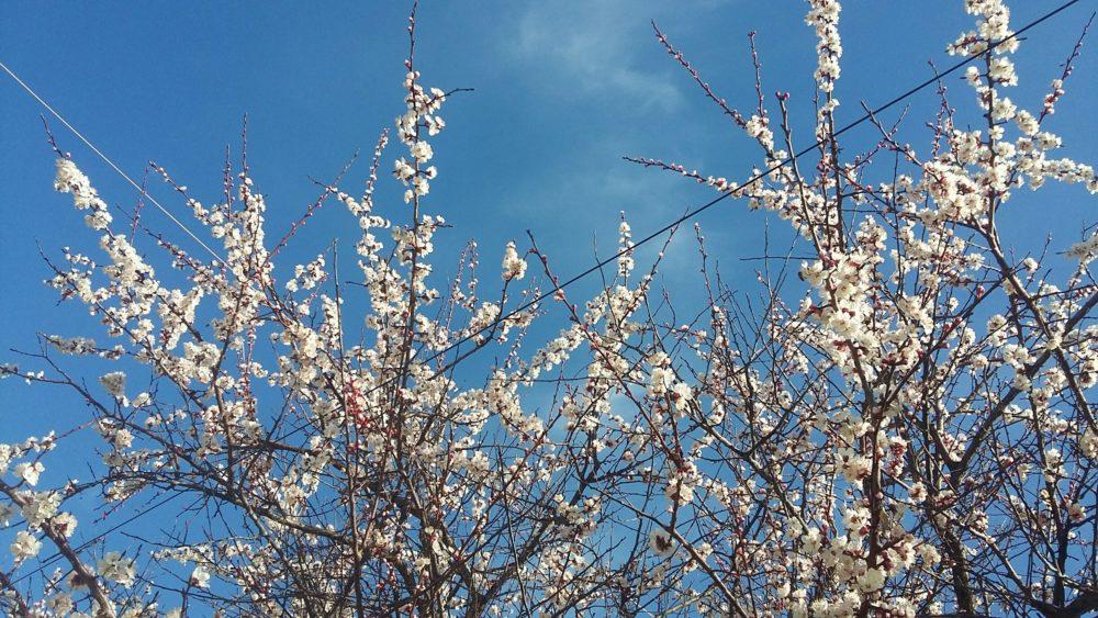 цветы абрикоса в Крыму