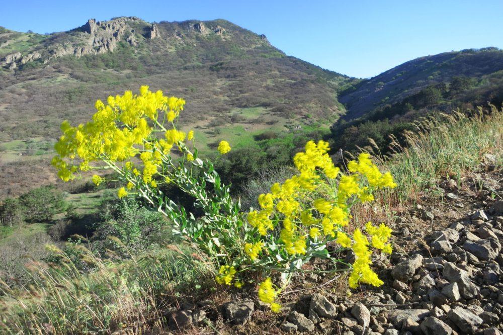 желтые цветы в Крыму